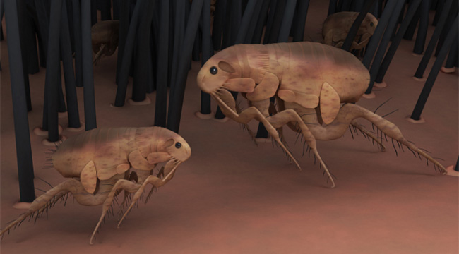 Flea-borne Diseases